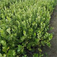 Natural Kanzi Lemon Plant