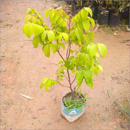 Karonda Plant