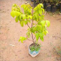 Natural Karonda (Koromcha) Plant