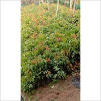 Natural Lychee Plant