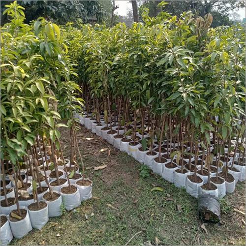 Natural Mango Plant