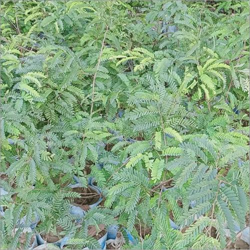 Red Tamarind Plant