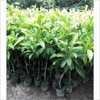 Natural Sopeda Plant