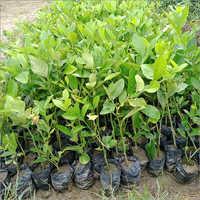 Natural Thai Lemon Plant