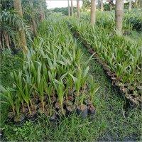 Natural Coconut Plant