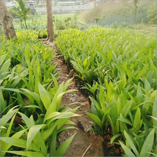 Natural Areca Palm (Supari) Plant