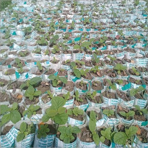 Natural Burma Teak Plant