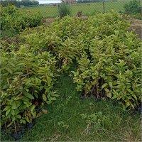 Natural Guava Plant