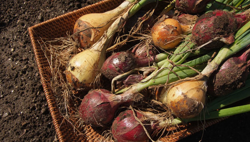 Natural Green Onions