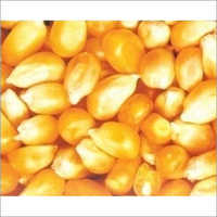 Fresh Maize Seeds
