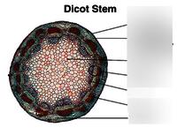STEM DICOT T.S.