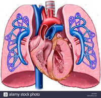 LUNGS WITH HEART