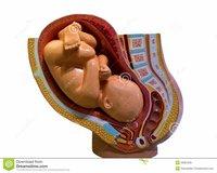 Birth model