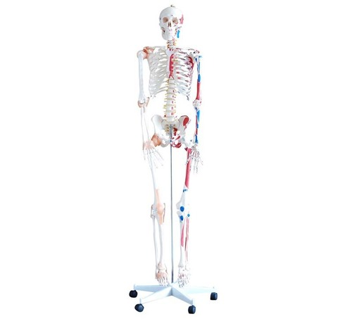 ConXport Skeleton with Muscles and Ligaments 180cm Tall