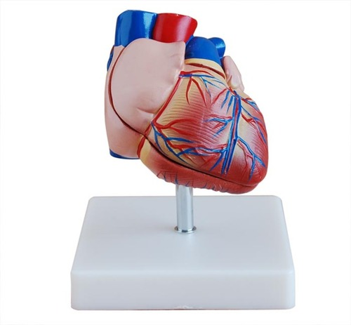 ConXport New Style Life-Size Heart Model