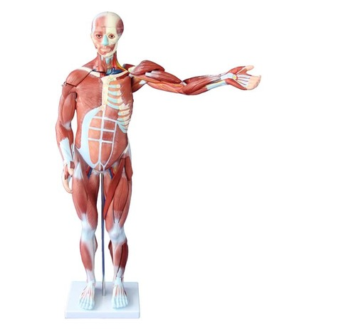 ConXport 80CM Human Muscle Model Male (27 PARTS)