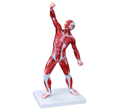 ConXport 50CM Human Muscle Model Male (1 Part)