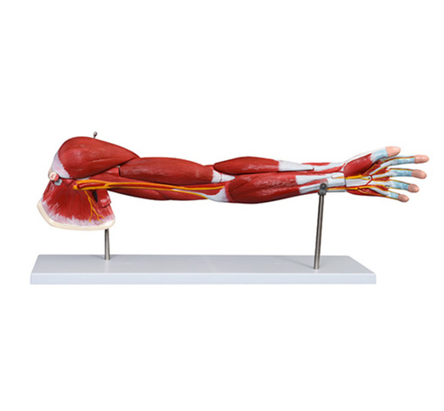 ConXport Muscle of Human Arm (7Parts)