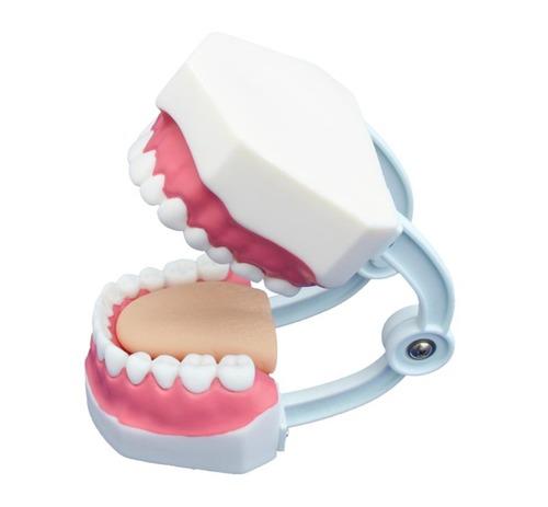 ConXport Small Dental Care Model (28teeth)