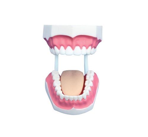 ConXport Small Dental Care Model (32teeth)