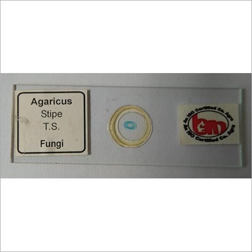 Agarius Stipe TS