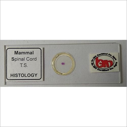 Mammal Spinal Cord TS