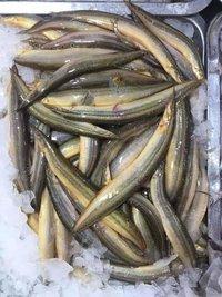 Eel Fish Seed