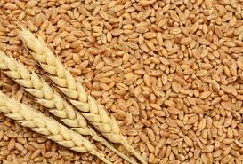 Lokvan Wheat