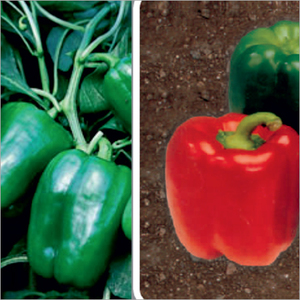 F1 Hybrid Vegetable Seeds