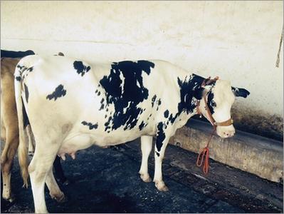 Holstein Friesians Cow